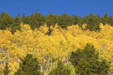 Free Evergreen, Aspens And Blue Sky Royalty Free Stock Images - 3865919