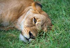 Free Lioness Stock Photos - 3866363