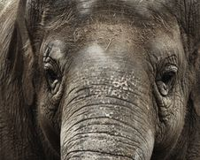 Asian Elephant 001 Stock Photos