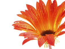 Free Orange Daisy Royalty Free Stock Images - 3868049