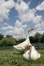 Free Goose Royalty Free Stock Image - 3874906
