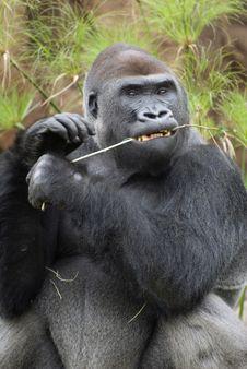 Free Gorilla Stock Photo - 3872110