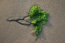 Sea Weed Tree Royalty Free Stock Photo