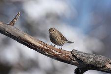 Free Sparrow Royalty Free Stock Photo - 3872865