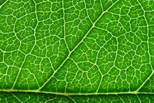 Free Green Leaf Royalty Free Stock Images - 3873349