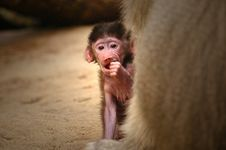 Free Hamadryas Baboon Royalty Free Stock Photos - 3873378