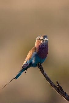 Free Lilac-breasted Roller Royalty Free Stock Images - 3874289