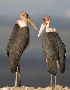 Free Marabou Stork Pair Stock Photo - 3874290