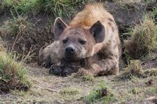 Free Hyena With Cub Royalty Free Stock Photos - 3874348