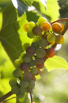 Free Bunch Of Grapes Stock Images - 3874644