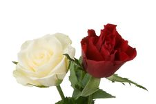 Free Red And White Rose Royalty Free Stock Images - 3874959