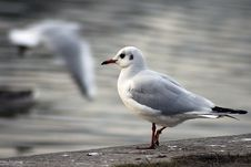 Free Seagull Royalty Free Stock Photography - 3875507