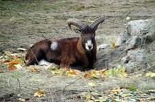 Free Goat Stock Photo - 3877160