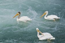Free Three White Pelicans On Water Stock Images - 3878124