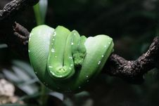 Free The Wood Green Snake Stock Image - 3878191