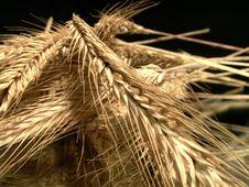 Free Wheat Ears On Dark Stock Image - 3879651