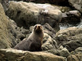 Free New Zealand Fur Seal Royalty Free Stock Image - 3885756