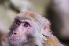 Free Monkey Royalty Free Stock Images - 3880239