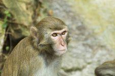 Free Monkey Royalty Free Stock Image - 3880246