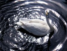 Free Swan Royalty Free Stock Images - 3882309
