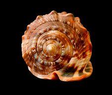 Free Seashell Royalty Free Stock Photo - 3883485