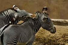 Free Zebras Stock Image - 3883531