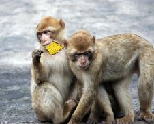 Two Baby Monkeys Playing Stock Image