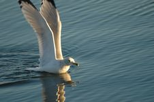 Free Gull Landing Stock Images - 3884534