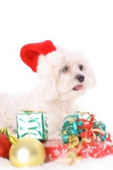 Free Happy Holidays Maltese Royalty Free Stock Image - 3884716