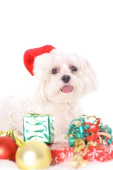 Free Merry Christmas Maltese Royalty Free Stock Images - 3884719