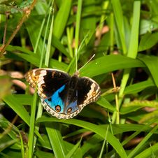 Blue Pansy Butterfly Royalty Free Stock Images