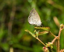 Free Pygmy Grass Blue Stock Photo - 3885170