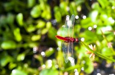 Free Red Dragonfly Stock Photo - 3885220