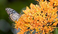 Free Mimic Tiger On Saraca Cauliflora Royalty Free Stock Image - 3885466