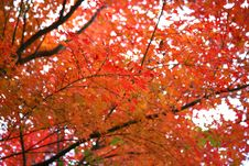 Japanese Tree In Autumn Colours Royalty Free Stock Photography