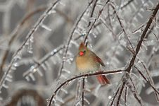 Free Female Cardinal In Ice Stock Photography - 3887362