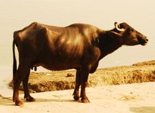 Free Cow Royalty Free Stock Photos - 3887508