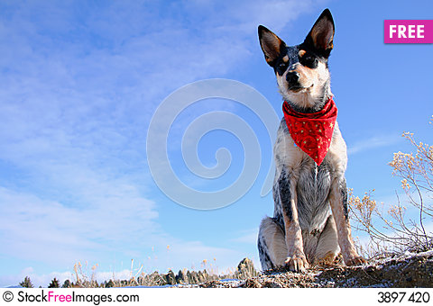 Free Heeler Pup 28 Stock Photo - 3897420