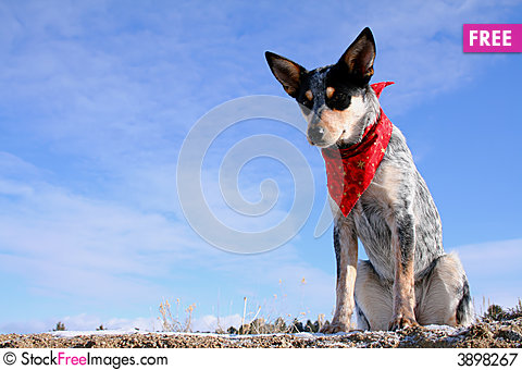 Free Heeler Pup Royalty Free Stock Photography - 3898267