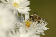 Free Bee On A Flower Stock Photo - 3890210