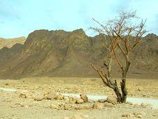 Free Tree In Desert Arava Stock Images - 3891234