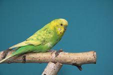 Free Parakeet Stock Photo - 3891560