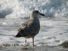 Surfing Seagull-Ready To Ride Stock Image