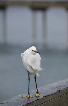 Free Snowy Egret Royalty Free Stock Images - 3892469