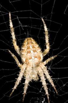 Free Orb Weaver Spider Stock Image - 3892941