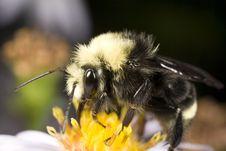 Free Bumblebee Gathering Pollen Stock Photos - 3892973