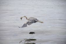 Free Great Blue Heron Flying With Fish Stock Photography - 3893332
