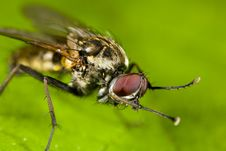 Portrait Of A Fly Scratching Itself Royalty Free Stock Image