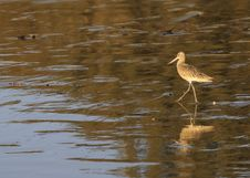 Marbled Godwit , Member Of The Sandpiper Family Stock Images