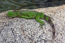Free Iguana In Aruba Stock Photo - 3895350